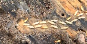 termite extermination